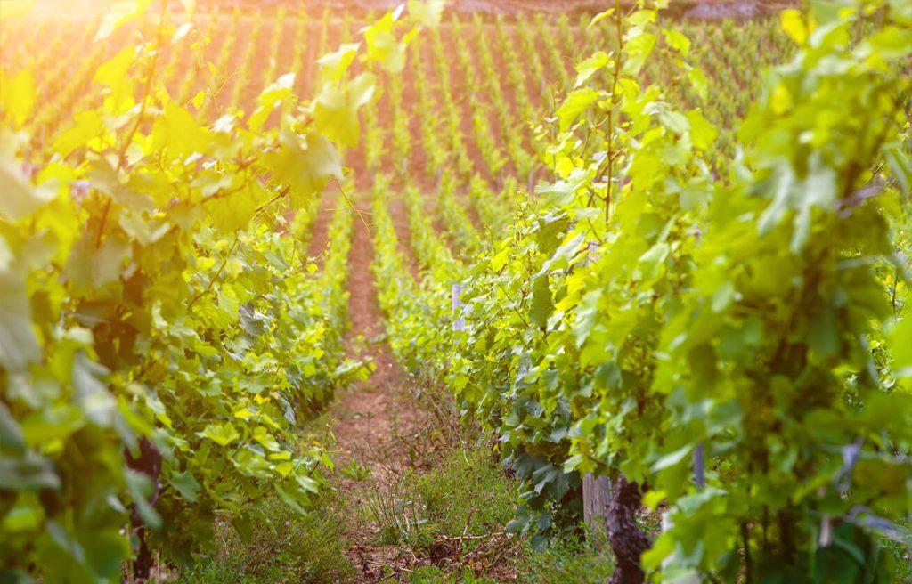 Fontana vin Vodole – lokacija. Vinograd in trte.