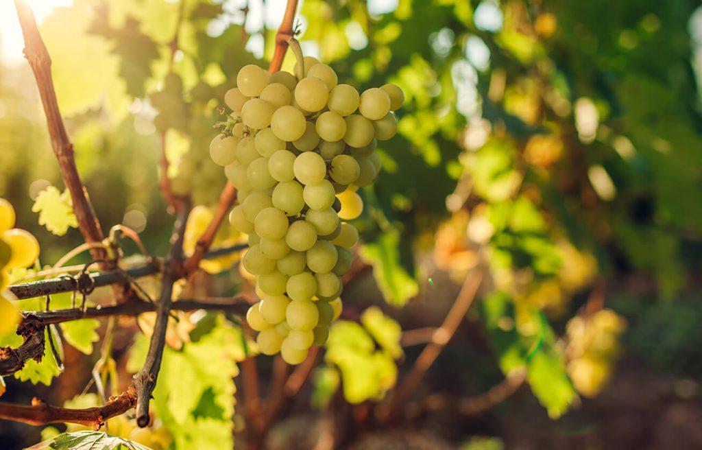 Fontana vin Vodole – lokacija. Vinograd in grozdje