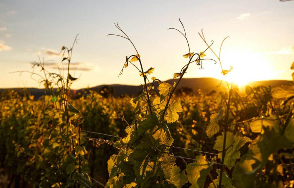 Fontana vin Vodole – lokacija. Vinograd in sončni zahod.
