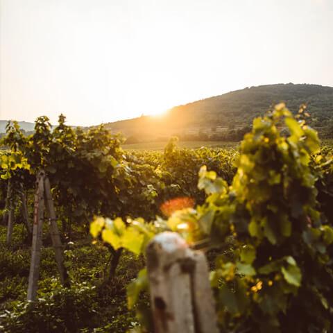 Fontana vin Vodole – vinograd. Lokacija posestvo Sončni raj