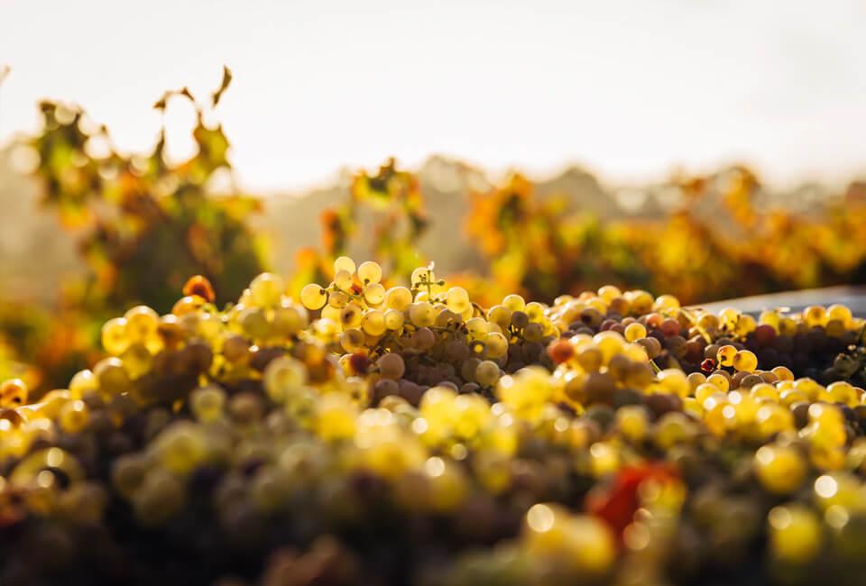 Fontana vin Vodole – lokacija. Belo grozdje
