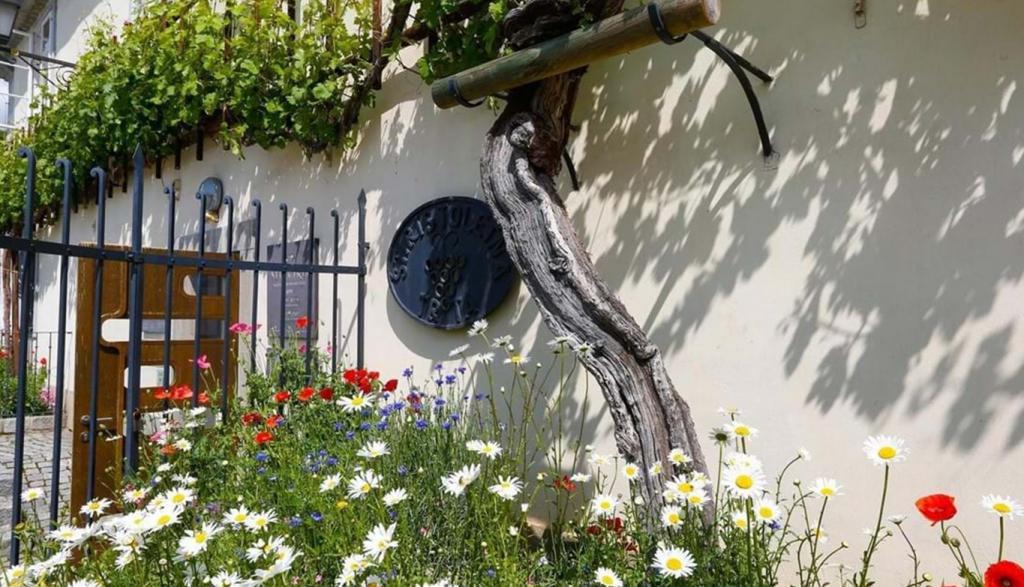 Fontana vin Vodole vinoteka – stara vinska trta Maribor